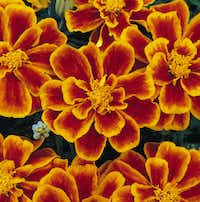 French Marigold 'Durango Flame' (Ball Horticultural)