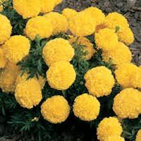 African Marigold 'Inca II Yellow' (T<i>agetes erecta</i>)(Ball Horticultural)
