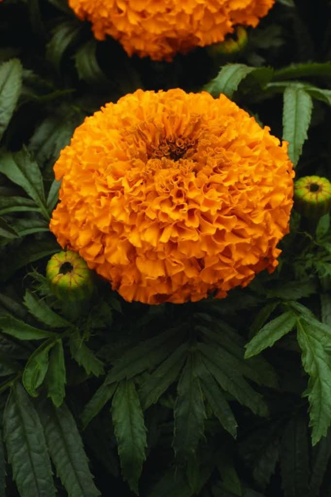 Marigold 'Moonsong Deep Orange'(All-America Selections)
