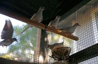 Diamond doves inside the aviary at Mariana Greene's home.(Jae S. Lee/Staff Photographer)