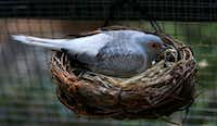 A diamond dove sits on an egg in the nest.(Jae S. Lee/Staff Photographer)