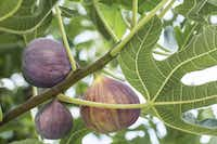 Ripe figs on the tree. (Valentyn Volkov)