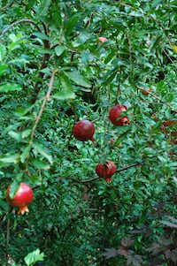 Pomegranate trees produce edible fruit. (Howard Garrett/Special Contributor)