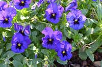 The pansy 'Nature Ocean' from the Nature series has performed well historically in the Dallas Arboretum's trial gardens.(Dallas Arboretum)