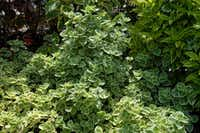 Cuban oregano is a ground cover that's an edible herb.