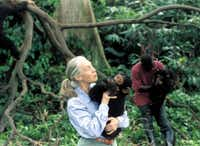 Jane Goodall with an orphaned chimpanzee in an undated photo. (Science Museum of Minnesota/(DMN file))