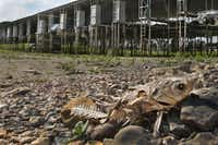 A dead fish lay on the rocks of what used to be an underwater portion of the DeCordova Marina, as the effects of the drought could be seen at Lake Granbury in May 2014.(Louis DeLuca/Staff Photographer)