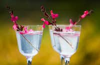 Gin and elderflower tonic drinks garnished with Autumn sage, which is edible, at The Dallas Arboretum. (Ashley Landis/Staff Photographer)