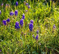 Grape Hyacinth (Muscari spp.)(Daniel Cunningham/Special Contributor)