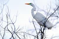 A great egret near the nesting area of the University of Texas Southwestern Medical Center Rookery in Dallas.(Ben Torres/Special Contributor)