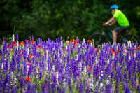 A cyclist rides past wildflowers in Prairie Creek Park in Richardson. (Smiley N. Pool/Staff Photographer)