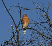 A red-shouldered hawk was one of many birds counted in the Heard Natural Science Museum & Wildlife Sanctuary Christmas Bird Count in McKinney in 2013.(David Woo/Staff Photographer)