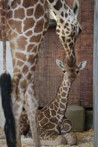 Giraffe mother Chrystal tends to her new calf who was born April 25 at the Dallas Zoo.(Dallas Zoo/Courtesy)