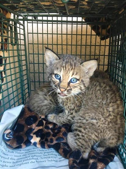 Texas Family Lied About Where They Found Bobcat Kittens That Bit