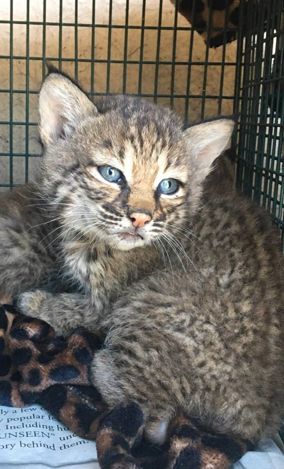 Texas family lied about where they found bobcat kittens that
