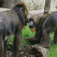 Obi and mother Saffron at the Dallas Zoo. When he was born in 2014, Obi was the first baby mandrill at the zoo in 24 years.(Courtesy/Dallas Zoo)
