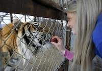Vicky Keahey feeds Apollo, a Bengal tiger, a treat at In-Sync Exotics in Wylie. (2010 File Photo/Vernon Bryant)