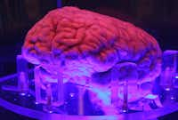 "<p><span style=""font-size: 1em; background-color: transparent;"">UT Southwestern Medical Center donated a human brain that is on display in a case of diluted formaldehyde.</span></p>(Louis DeLuca/Staff Photographer)"