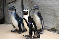 Althea and her two unnamed foster penguin chicks at their habitat at the Dallas Zoo.(Dallas Zoo/Courtesy)