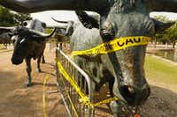 Nine of the bronze steers created by Glen Rose artist Robert Summers at Pioneer Plaza in downtown Dallas are wrapped with caution tape.(Ron Baselice/Staff Photographer)