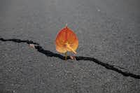 An anthurium flower left in a crack of a road as an offering to Madam Pele, Hawaiian's goddess of volcanoes and fire, in the Leilani Estates subdivision near Pahoa, Hawaii, on May 19, 2018.(Tamir Kalifa/The New York Times)