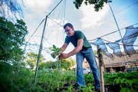 Jefferson Braga ties up a young tomato plant on his property in Irving.(Robert W. Hart/Special Contributor)