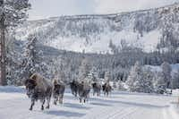Frosted bison are a common sight at Yellowstone National Park in the wintertime.(Brian Irwin/Special Contributor)