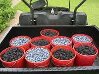 Blueberries and blackberries fill buckets in a small truck at Green Farm near Daingerfield, Texas.(Greer Farm/Digital File_UPLOAD)