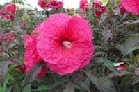 'Plum Fantasy' hibiscus(Garden Crossings)