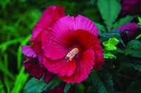 'Midnight Marvel' hibiscus from Burpee(Christa Neu)