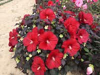 Summerific 'Holy Grail' Rose Mallow Hibiscus hybrid  from Proven Winners (Proven Winners)