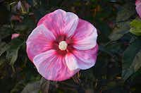Summerific 'Cherry Choco Latte' Rose Mallow Hibiscus hybrid from Proven Winners (Proven Winners)
