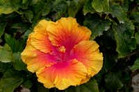 'The Path' hibiscus from Monrovia(DoreenWynja.com for Monrovia)