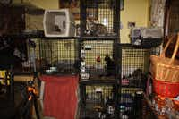 Some cats were found confined to crates full of feces, and others were roaming freely around the house, including in a room where two dead cats were found.(Courtesy/SPCA of Texas)