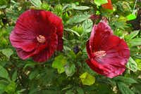 'Cranberry Crush' hibiscus from Burpee (W. Atlee Burpee Company)