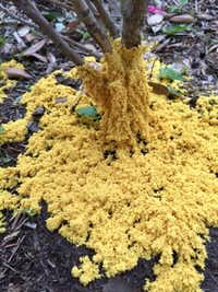 Slime mold grows around the bottom of a tree. Slime mold feeds on dead and decaying organic matter and generally doesn't hurt anything.(Howard Garrett/Special Contributor)