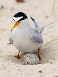 A least tern checks her two eggs on the beach in Gulfport, Miss.(2010 File Photo/The Associated Press)