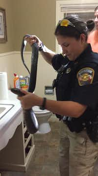 "<p><span style=""font-size: 1em; background-color: transparent;"">Bee County Sheriff's Deputy Lindsay Scotten removes a Texas indigo snake from a resident's home.</span></p>(Facebook/<p><span style=""font-size: 1em; background-color: transparent;"">Bee County Sheriff's Office</span></p>)"
