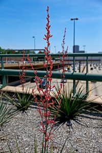 Yucca plants are seen on the Knox/Henderson overpass along Central Expressway in Dallas.(Jae S. Lee/Staff Photographer)