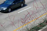A car moves by yucca plants that were planted in the medians along Central Expressway.(Jae S. Lee/Staff Photographer)