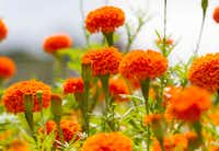 'Giant Orange' marigold flowers at Tin Cup Farm (Brian Elledge/Staff Photographer)