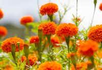 'Giant Orange' marigold flowers at Tin Cup Farm(Brian Elledge/Staff Photographer)