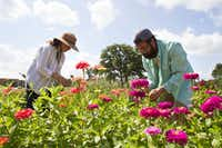 Owners Aelish & David Lascoe tend to zinnias in the field at Tin Cup Farm in Buffalo.(Brian Elledge/Staff Photographer)