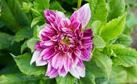 'Cafe au Lait' dahlia at Tin Cup Farm (Brian Elledge/Staff photographer)
