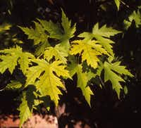 Silver maple tree (Acer saccharinum) (Howard Garrett/Special Contributor)
