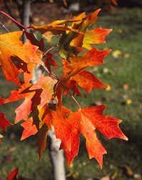 Bigtooth maple tree (Acer grandidentatum)(Howard Garrett/Special Contributor)