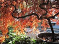 'Crimson Queen' Japanese maple tree (Acer palmatum var. dissectum)(Howard Garrett/Special Contributor)