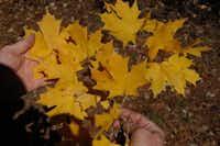 Caddo maple tree leaves (Acer saccharum var. caddo)(Howard Garrett/Special Contributor)