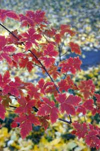 Paperbark maple tree (Acer griseum)(Howard Garrett/Special Contributor)