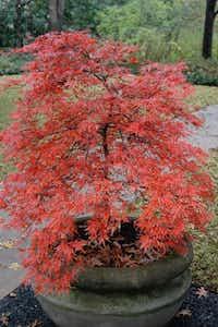 Orangeola Japanese maple tree (Acer palmatum 'Orangeola')(Howard Garrett/Special Contributor)
